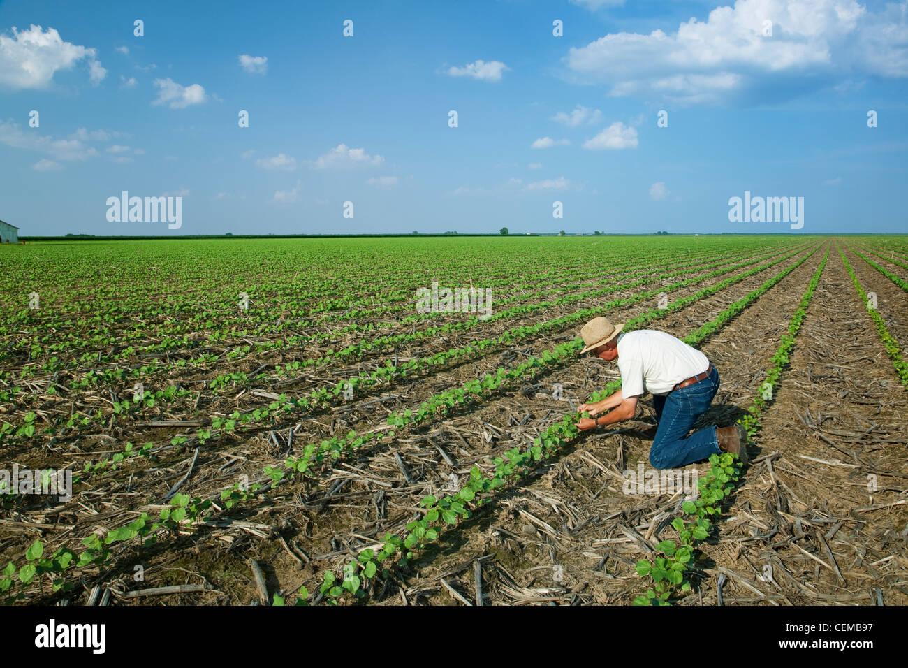 Un consulente di raccolto ispeziona un early growth no-till il cotone raccolto a 3-4 vero stadio fogliare ad inizio Immagini Stock