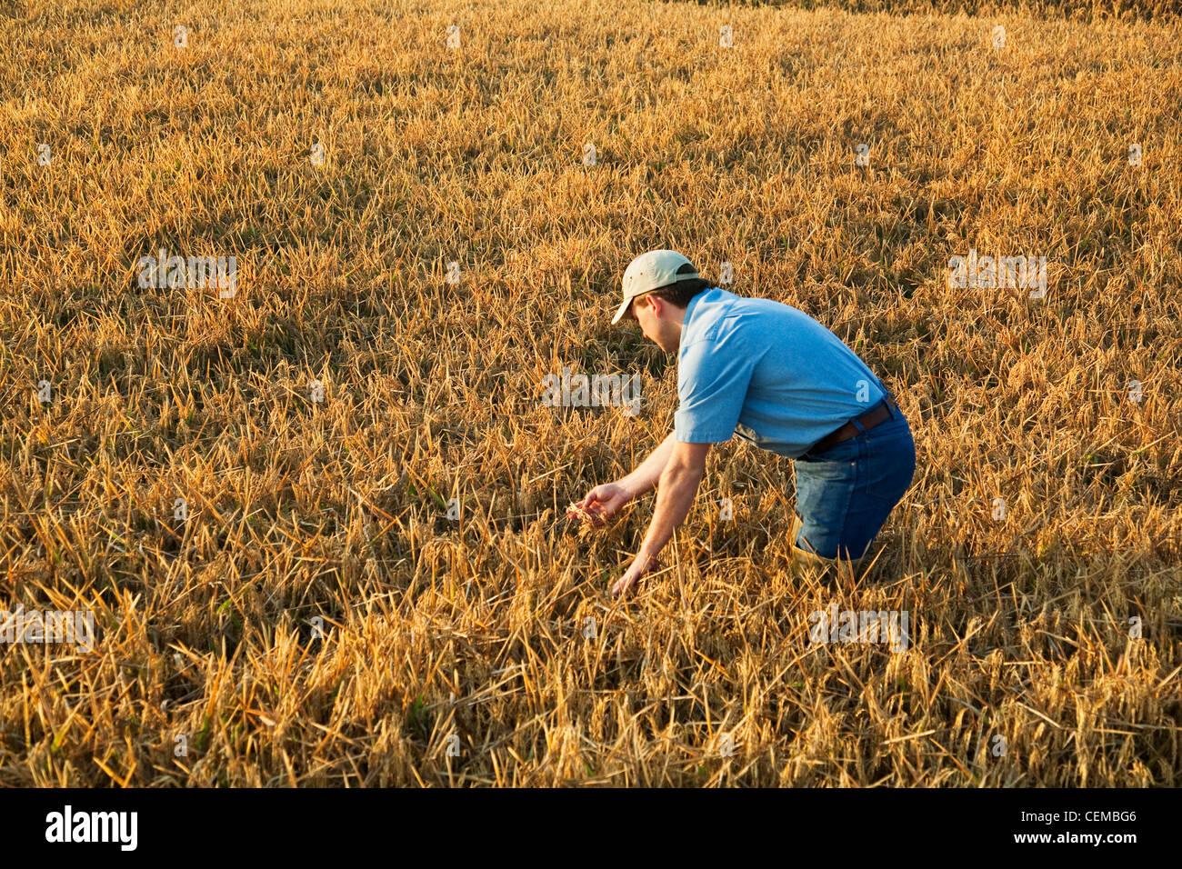 Un contadino (coltivatore) nel suo campo ispeziona il suo quasi maturi il raccolto di riso al fine di determinare Immagini Stock