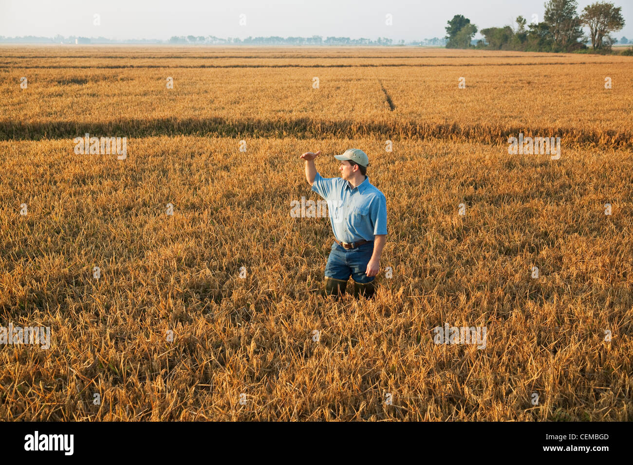 Un contadino (coltivatore) in piedi nel suo campo ispeziona il suo quasi maturi il raccolto di riso al fine di determinare Immagini Stock
