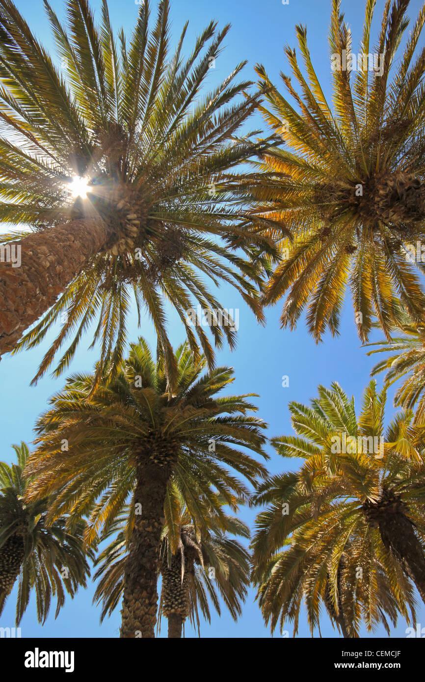 Vista di alcune palme tropicali contro il cielo blu da direttamente sotto, elaborazione dell'immagine. Immagini Stock