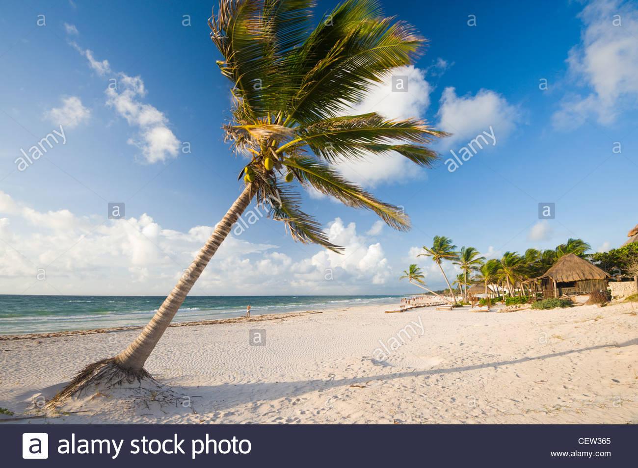 Palm Tree sulla spiaggia di Tulum, Quintana Roo, la penisola dello Yucatan, Messico. Immagini Stock