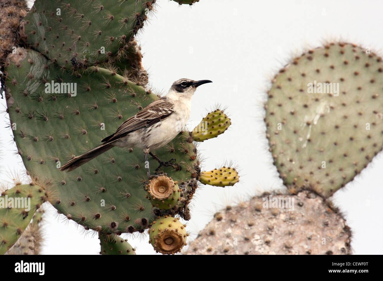Mockingbird nelle isole Galapagos Foto Stock