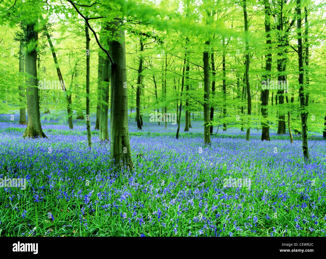 Un tappeto di bluebells. Immagini Stock