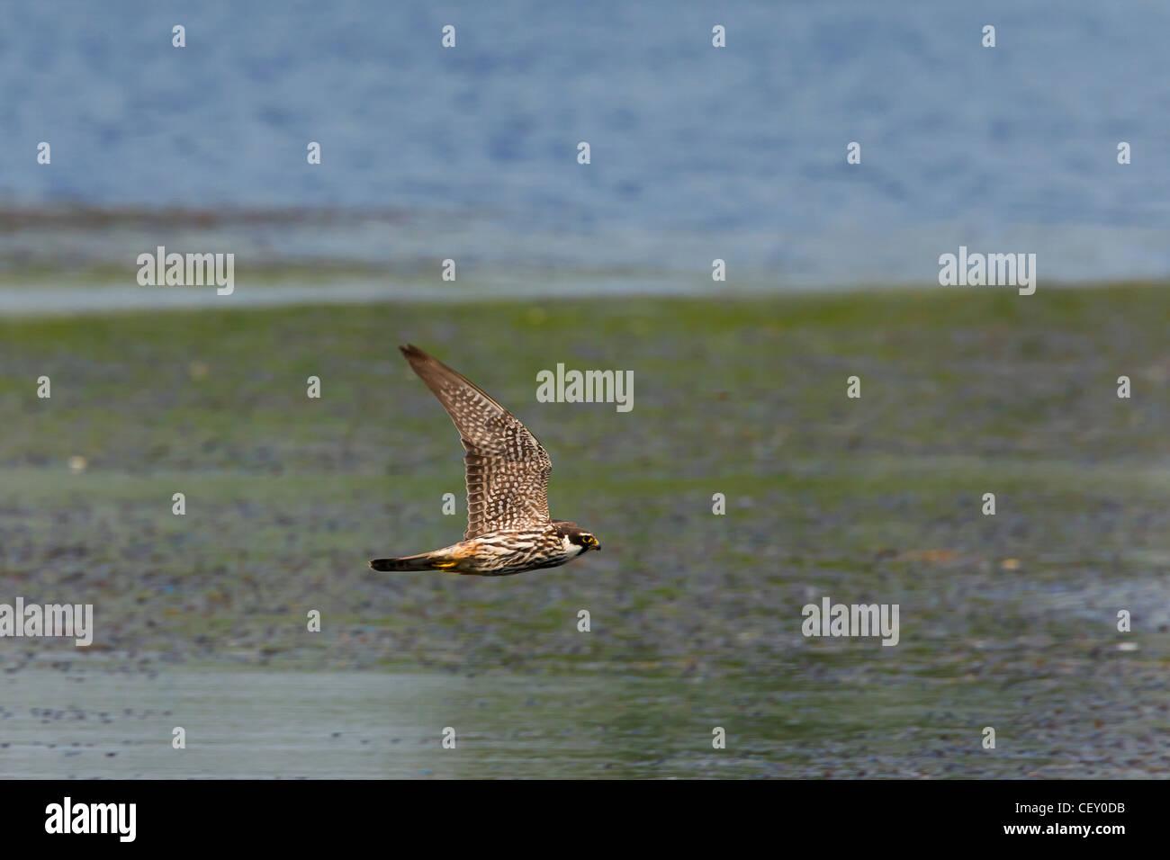 Eurasian Hobby (Falco Subbuteo®) a caccia di libellule sopra il lago, Germania Immagini Stock