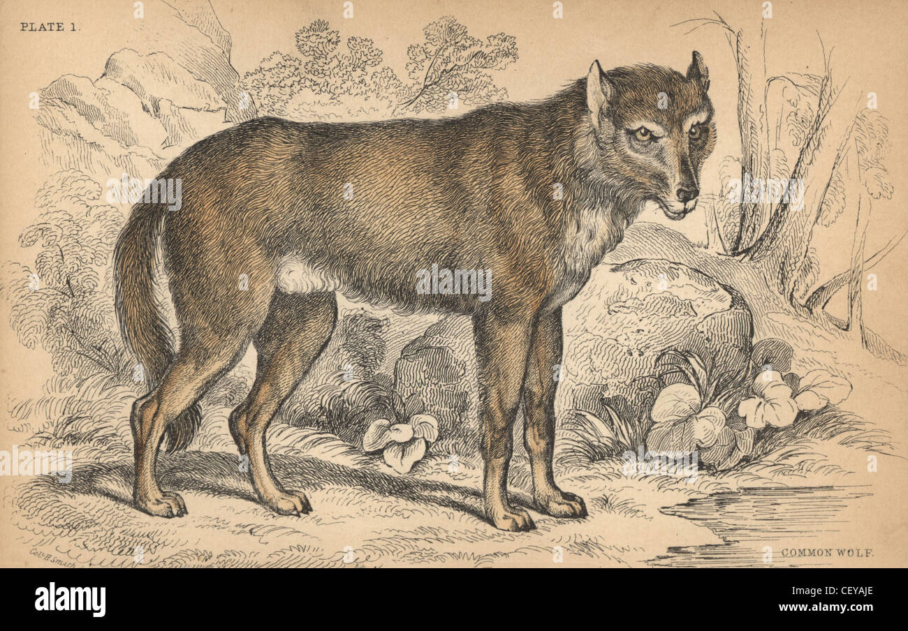 Engraving by wolf immagini & engraving by wolf fotos stock alamy
