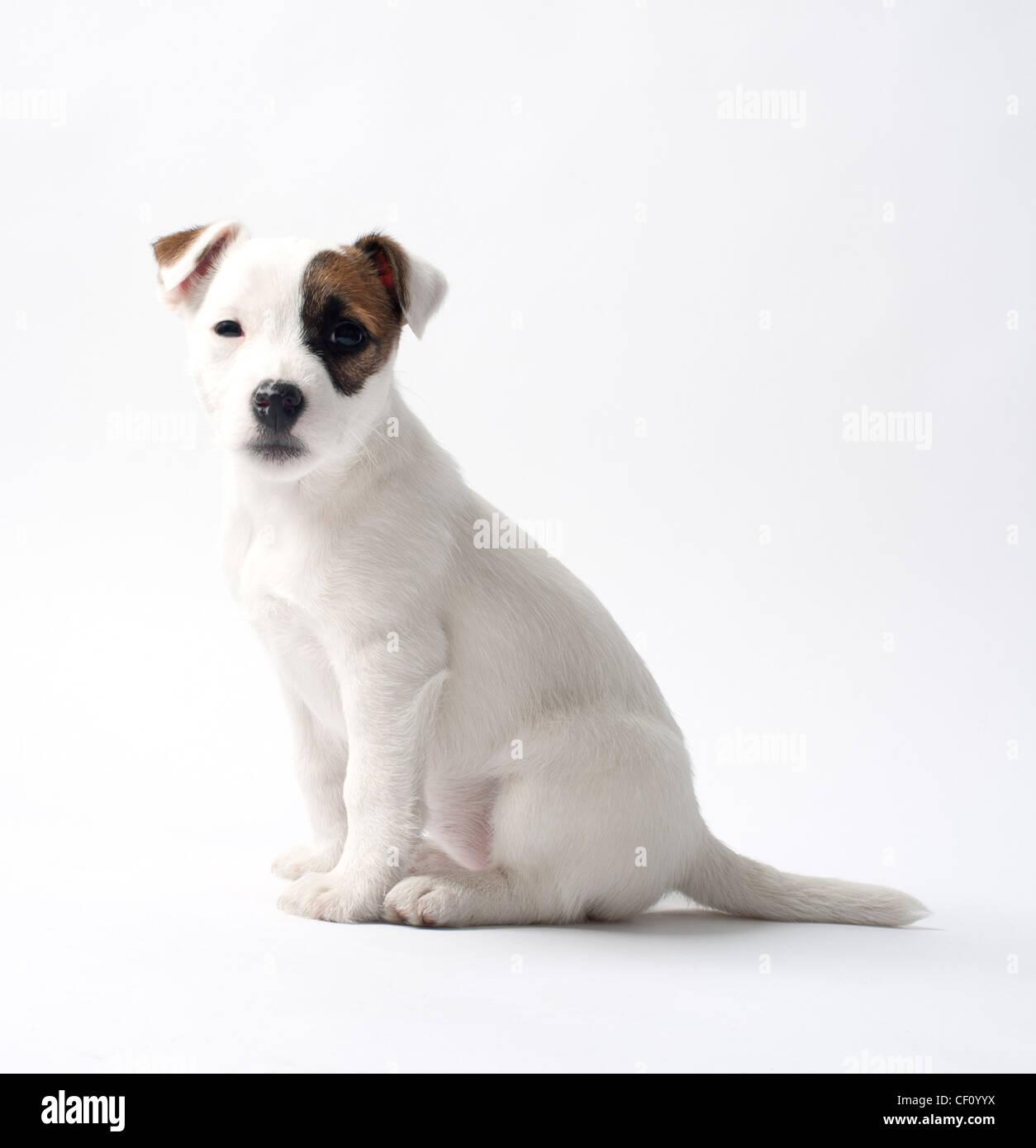 Jack Russell cucciolo bianco su sfondo per studio Immagini Stock