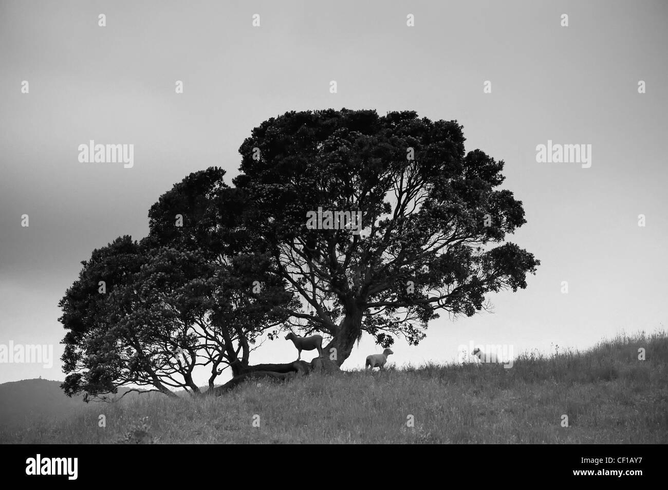 Silhouette di un albero con Pecora in piedi al di sotto; Nuova Zelanda Immagini Stock