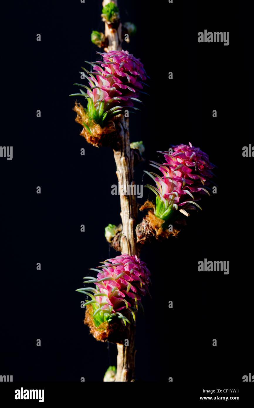 Larice comune / Europea larice (Larix decidua) fiori femminili, Germania Foto Stock
