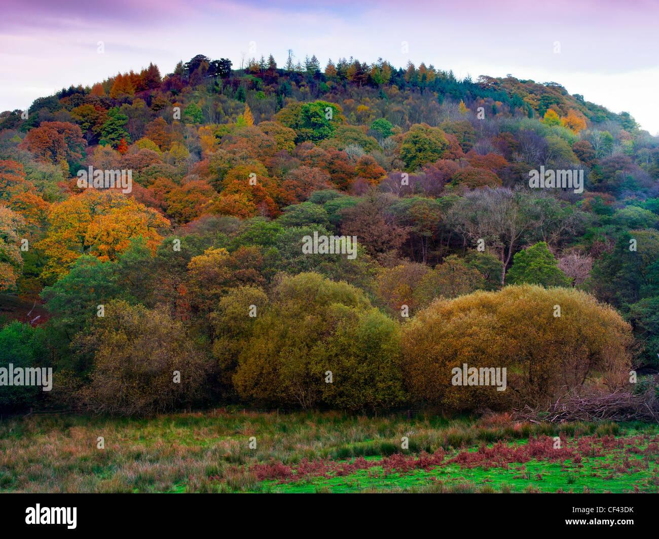 Un colorato display autunnali da alberi sulla collina Beddugre. Immagini Stock