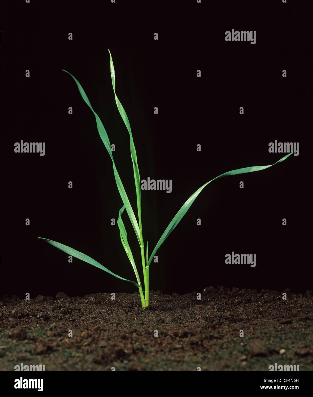 Giovani pianta di grano presso lo stadio di crescita 21 Immagini Stock