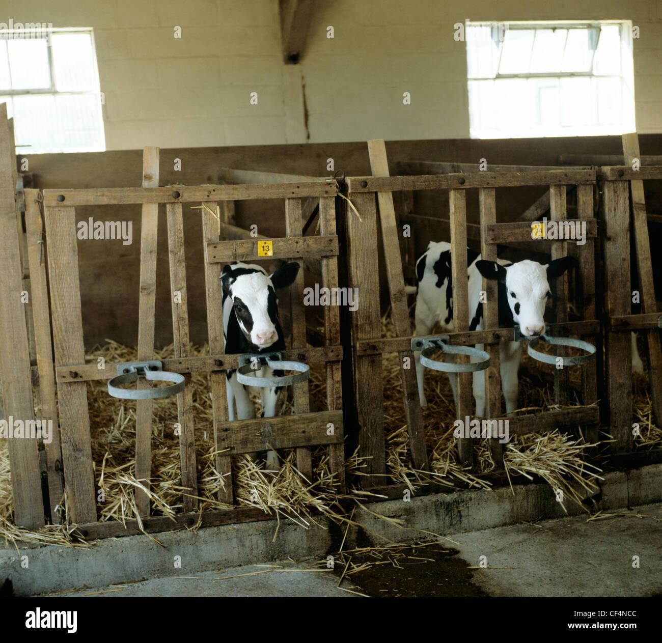 Due giovani il frisone Holstein i vitelli in stalle di dairy house Immagini Stock