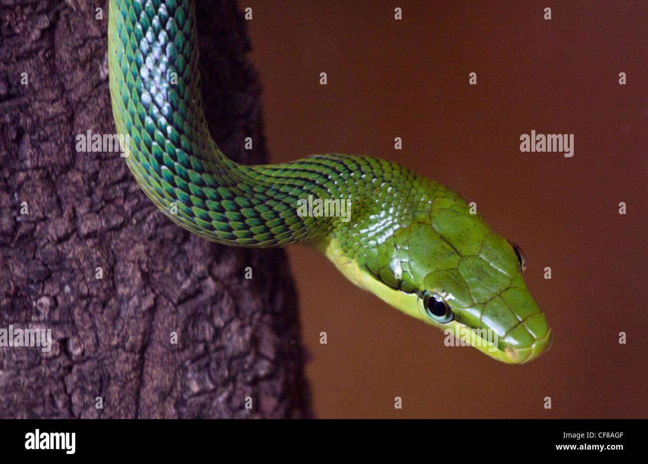 Rosso Verde codato Biacco (gonyosoma oxycephalum) Immagini Stock