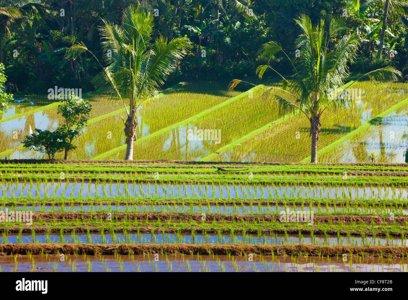 Belimbing, Indonesia, Asia, Bali, agricoltura, campi, campi di riso ...