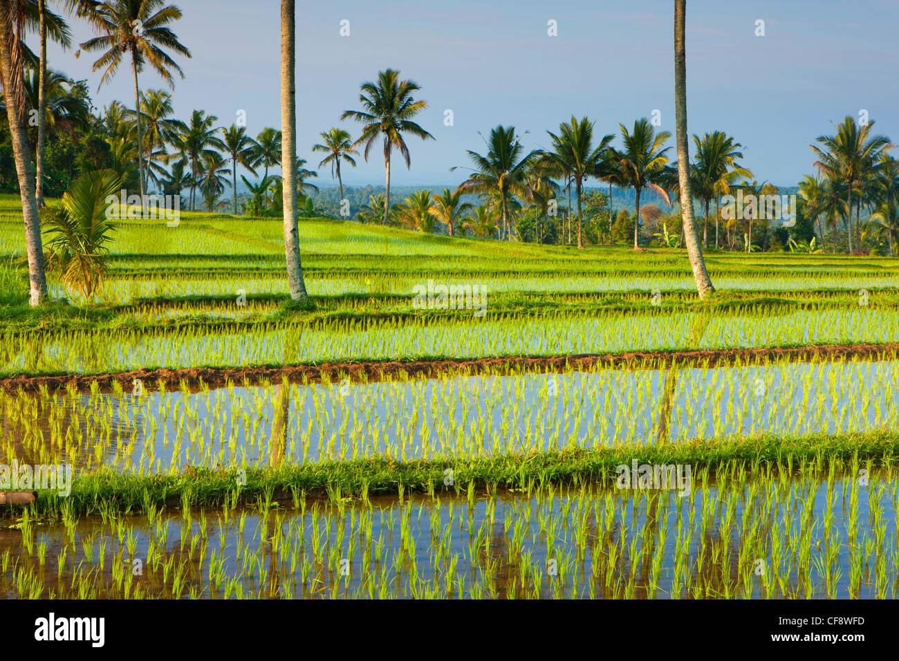 Licin, Indonesia, Asia, Java, campi, campi di riso, riso ...