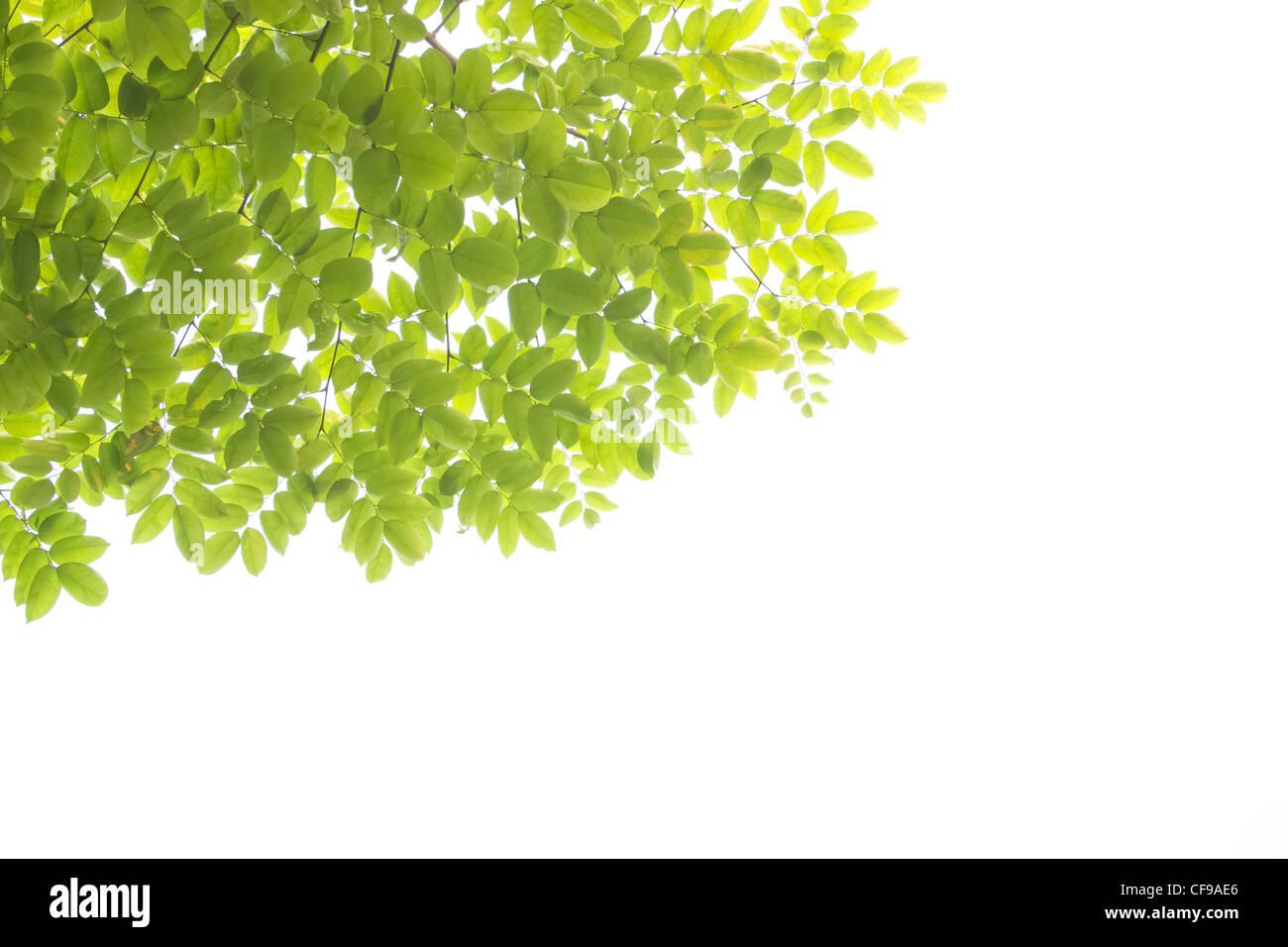 Foglie verdi sfondo bianco Immagini Stock