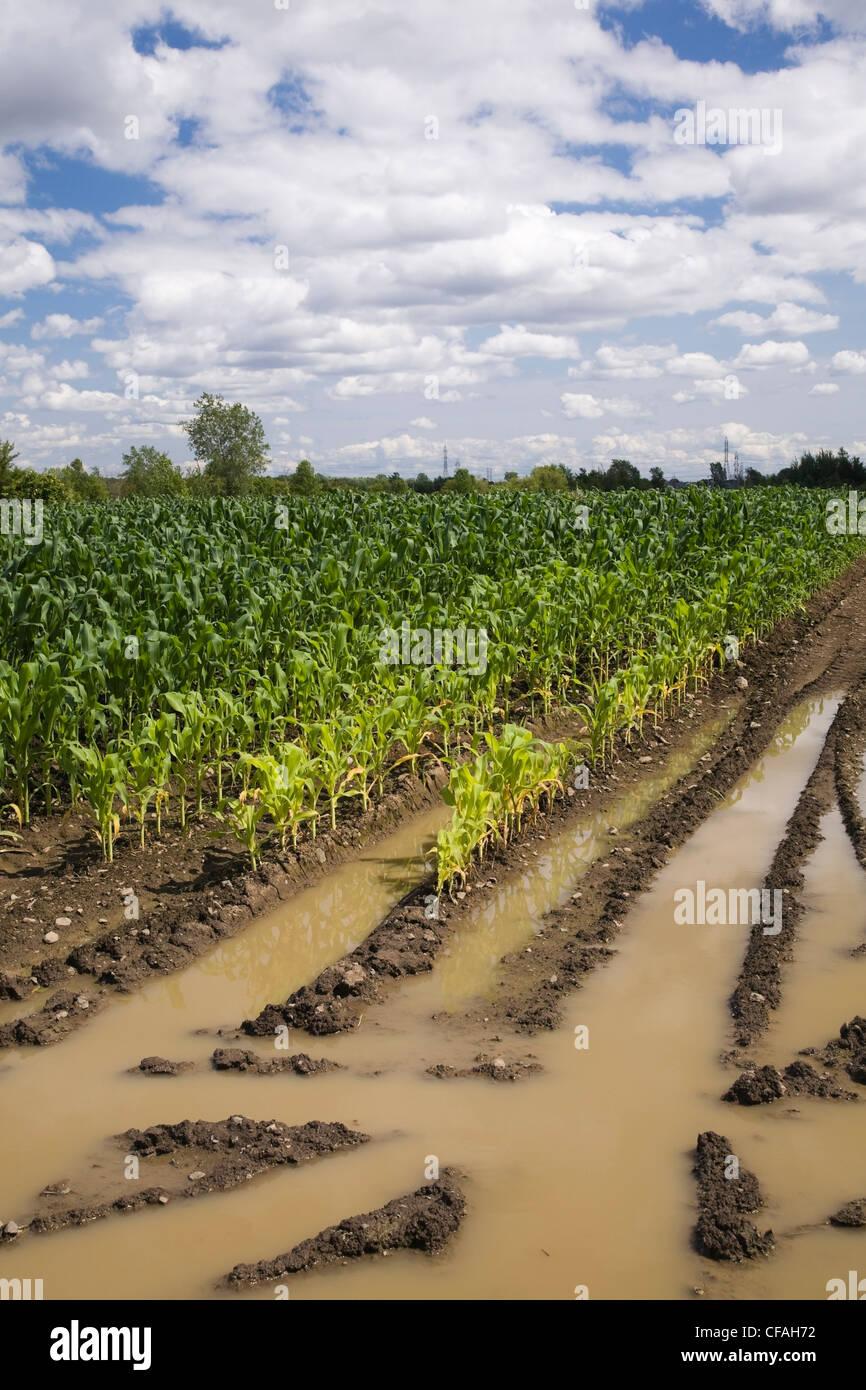 Campo di mais allagata con eccesso di acqua di pioggia a causa degli effetti del cambiamento climatico, Laval, Quebec, Immagini Stock