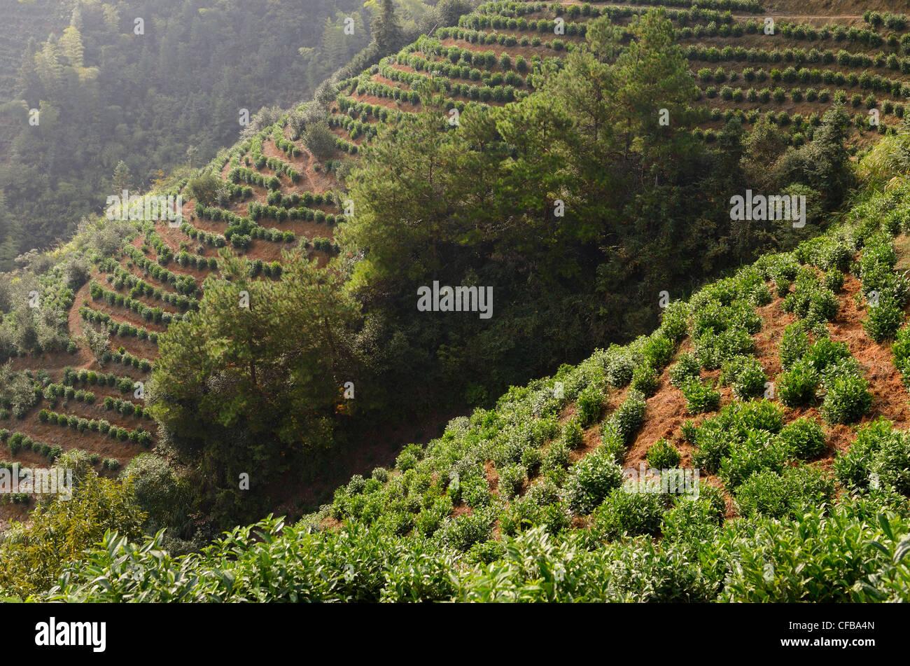 Il tè cespugli su ripidi pendii di una piantagione nei pressi di feng le lake scenic area huangshan cina Immagini Stock
