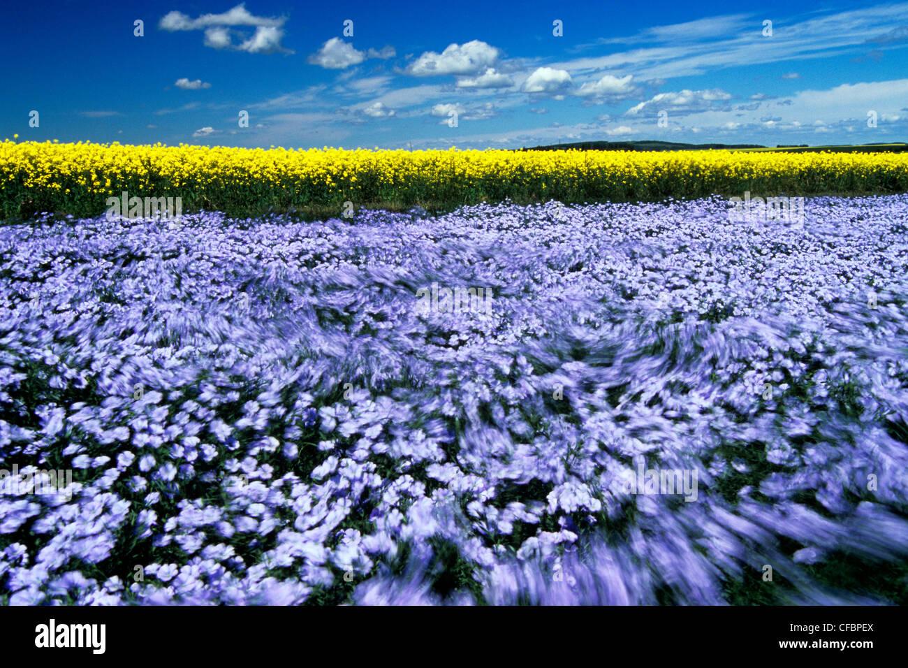 Fioritura battente campo di lino con la canola in background vicino a Somerset, Manitoba, Canada Immagini Stock