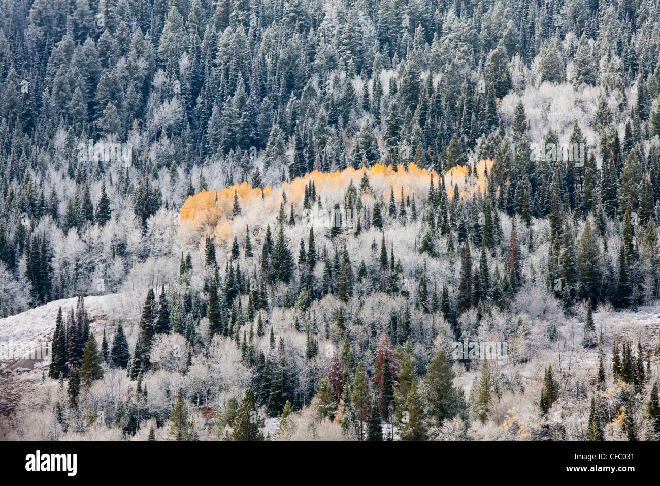 Stati Uniti d'America, Stati Uniti, America, Wyoming Autunno, freddo, alberi di pino, neve, legno, foglie di Immagini Stock