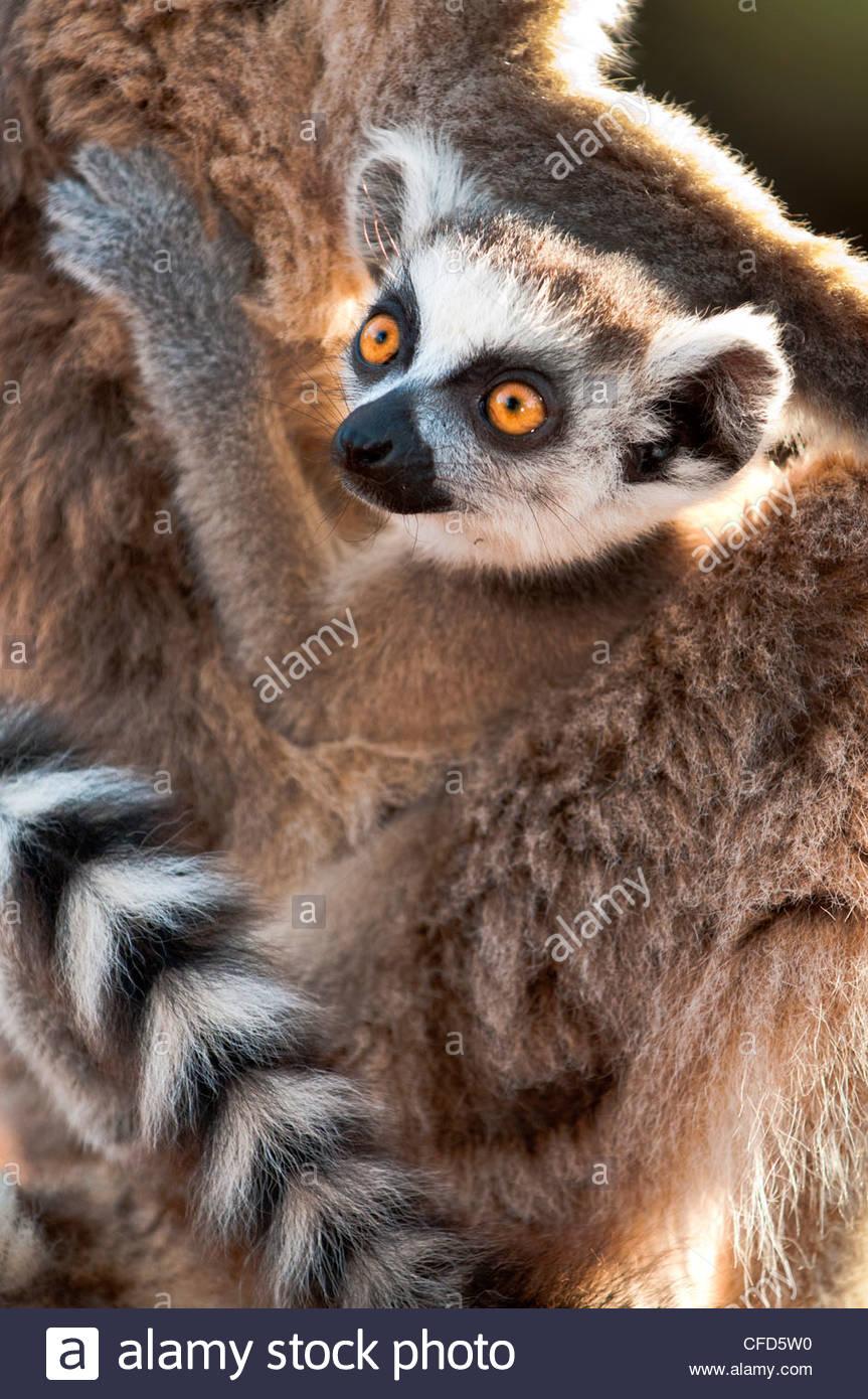 Anello per neonati-tailed Lemur (6-8 settimane) aggrappati alla madre. Berenty Riserva Privata, Madagascar meridionale Immagini Stock