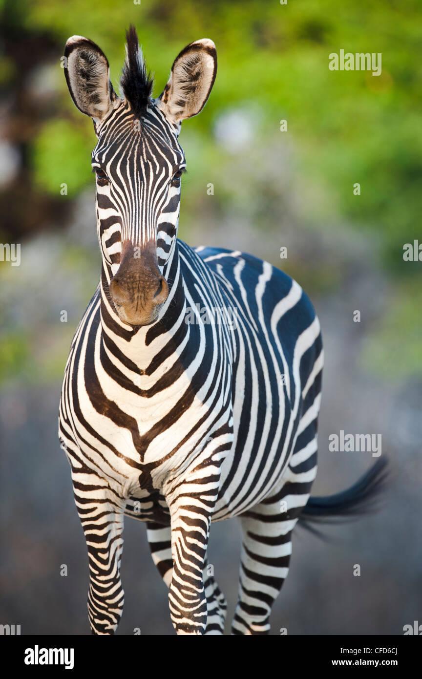 Crawshay's Zebra - sottospecie di pianura Zebra. Sulle rive del fiume Luangwa. South Luangwa National Park, Immagini Stock