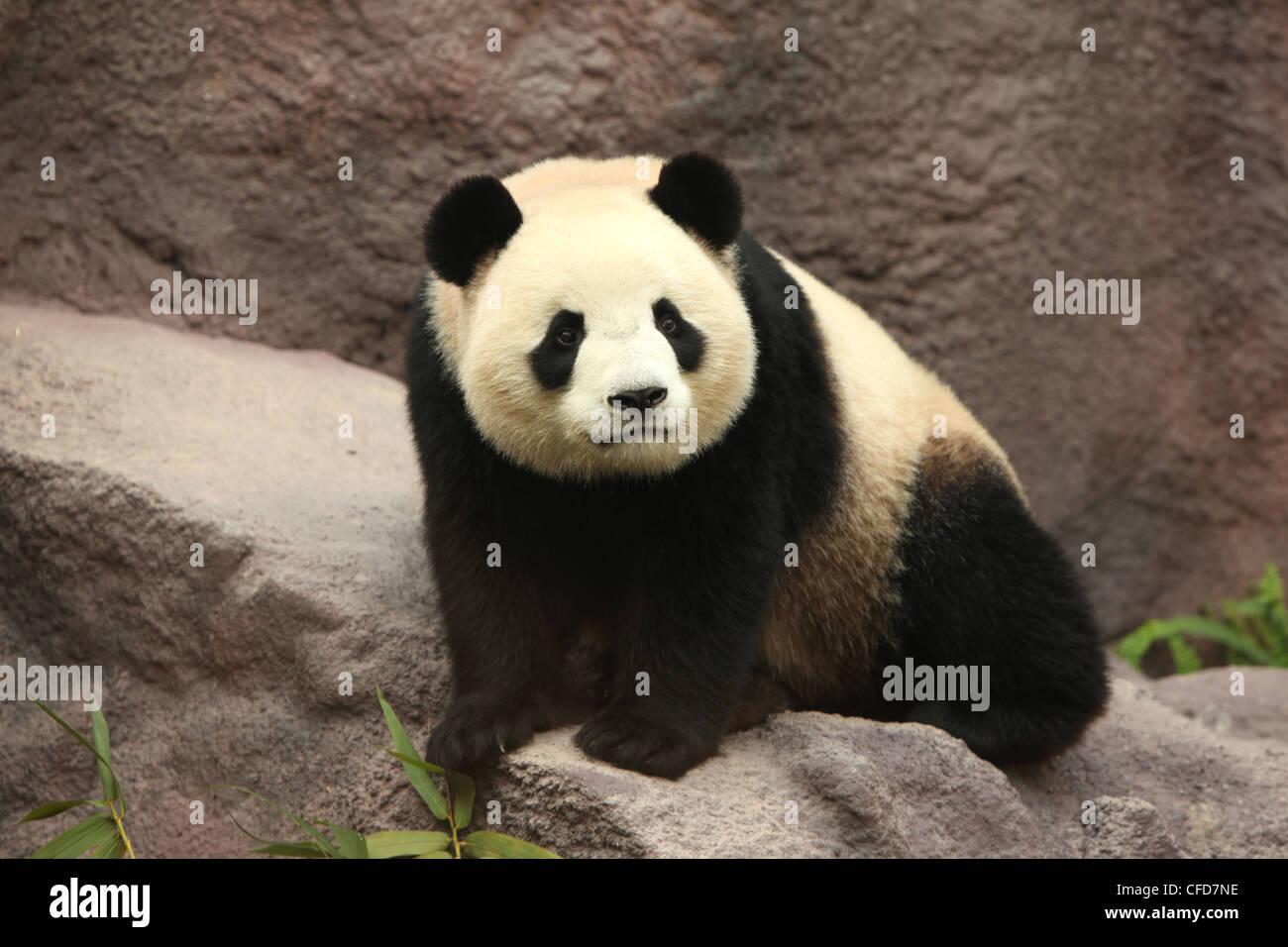 Panda gigante, panda, Macau Panda's Pavillion, Macao Immagini Stock
