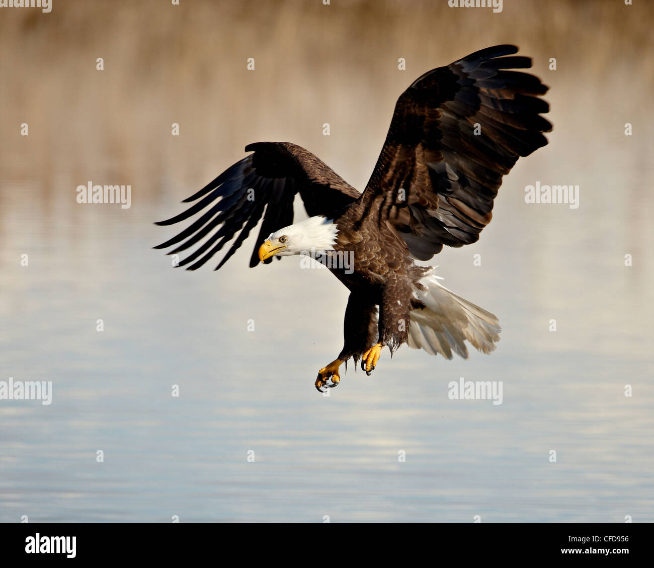 Aquila calva (Haliaeetus leucocephalus) in volo su approccio finale, Farmington Bay, Utah, Stati Uniti d'America, Immagini Stock