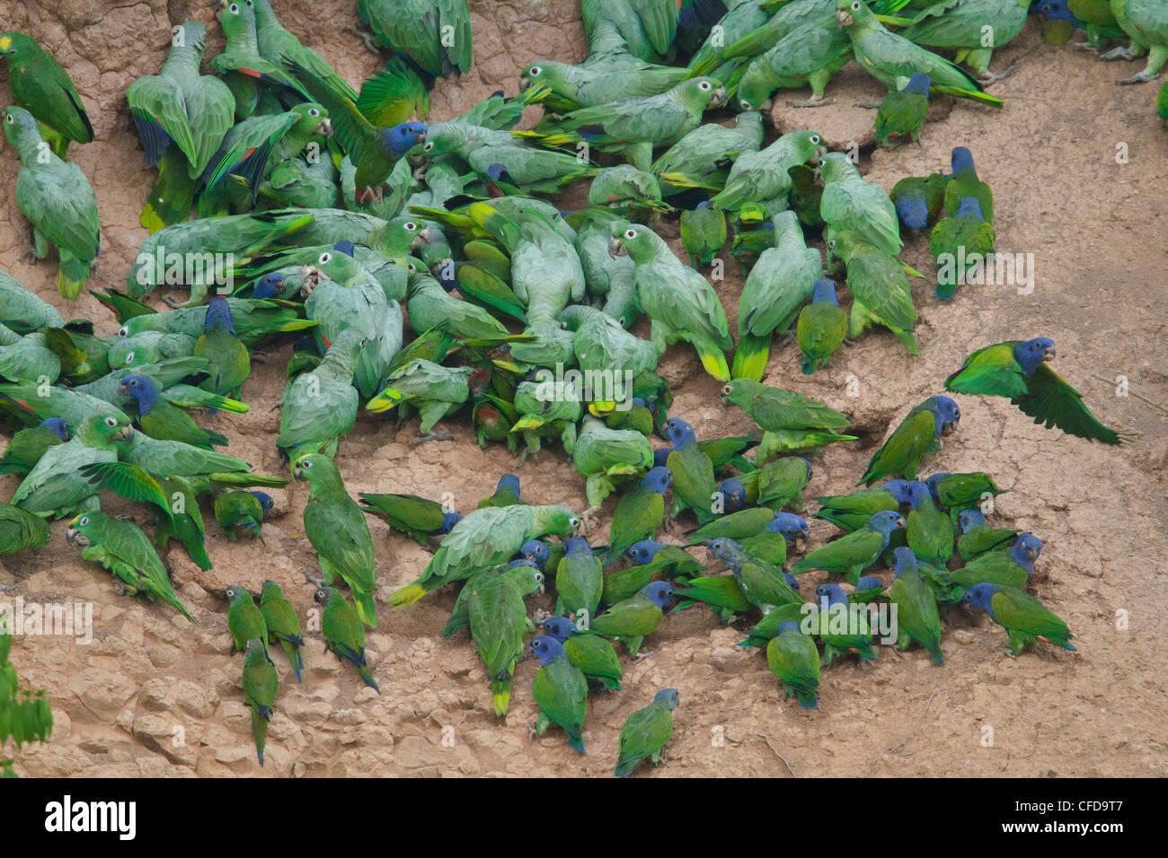 A testa azzurra Parrot (Pionus menstruus) alimentazione in corrispondenza di una argilla leccare amazzonica in Ecuador. Immagini Stock