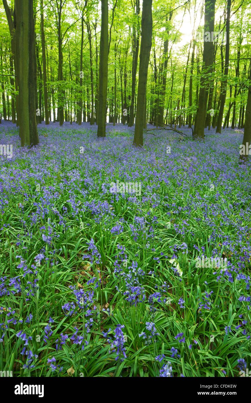 Bluebells (Hyacinthoides non scripta) nei boschi, Ashridge Estate, Hertfordshire, Inghilterra, Regno Unito, Europa Immagini Stock