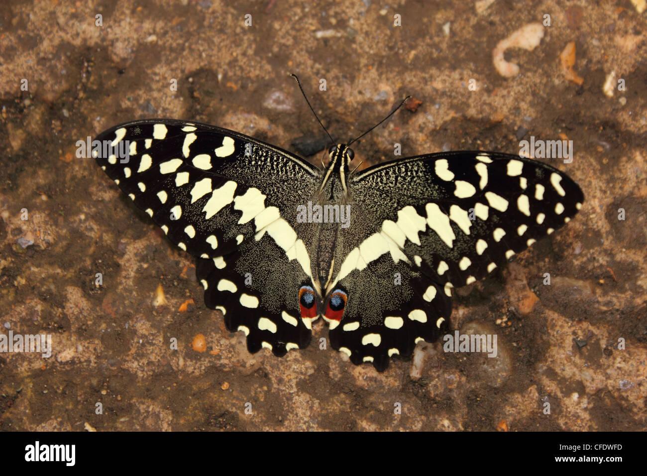 Lime a coda di rondine (Farfalla Papilio demoleus) Foto Stock