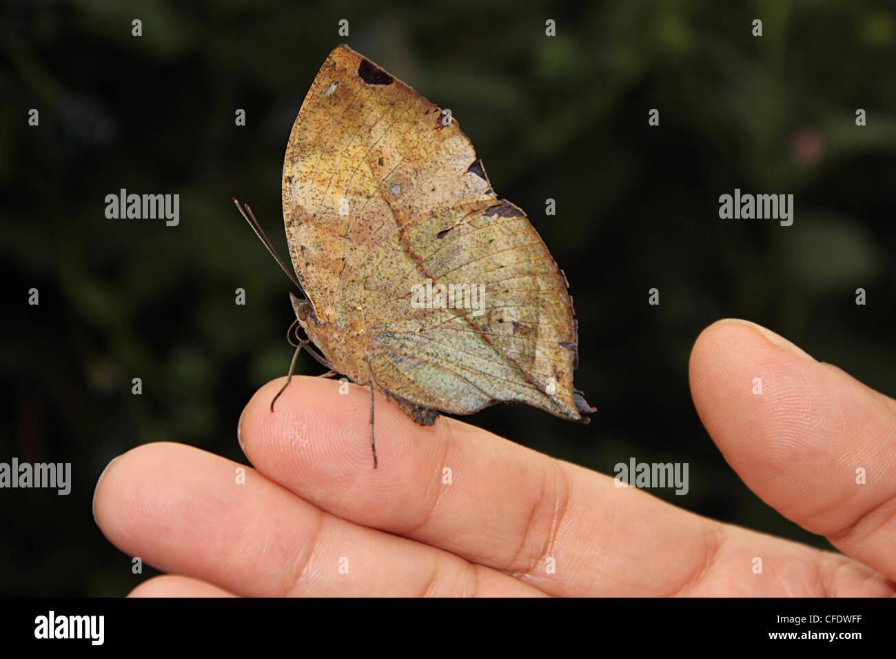 Foglia indiano Butterfly (Kallima paralekta) Immagini Stock