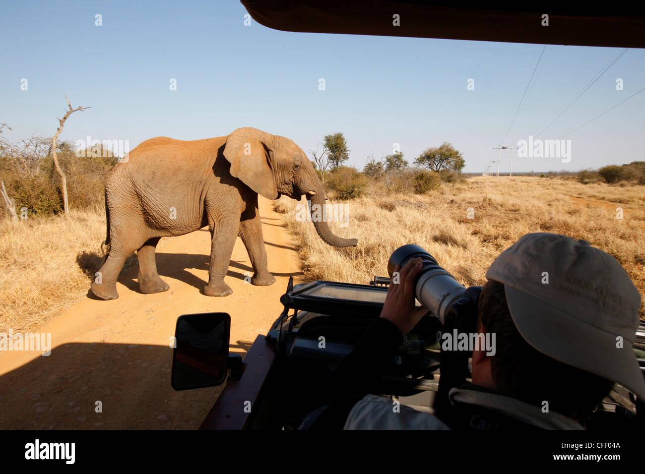 Elefante africano nella parte anteriore del veicolo di safari, Madikwe Game Reserve, Madikwe, Sud Africa e Africa Immagini Stock