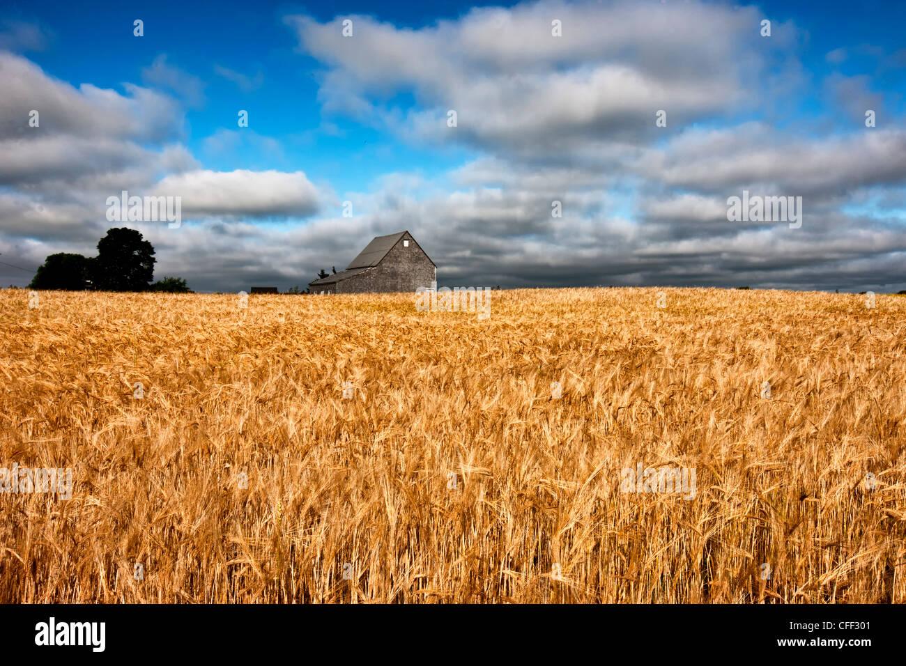 Fienile e un campo di grano, Guernsey Cove, Prince Edward Island, Canada Immagini Stock