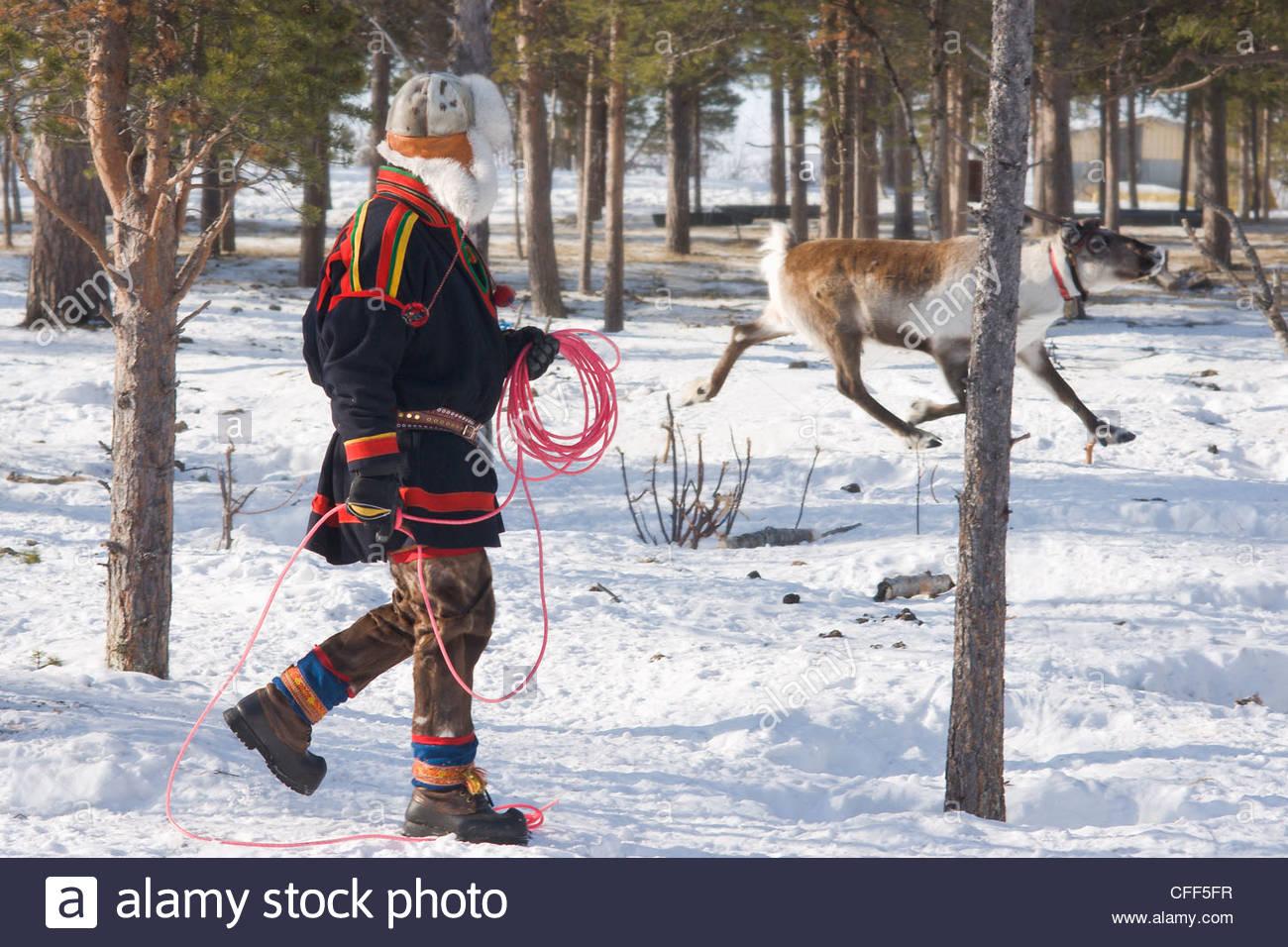 Sami uomo tenta di lazo una renna al suo homestead, Kiruna, Lapponia, arctic Svezia, Scandinavia, Europa Immagini Stock