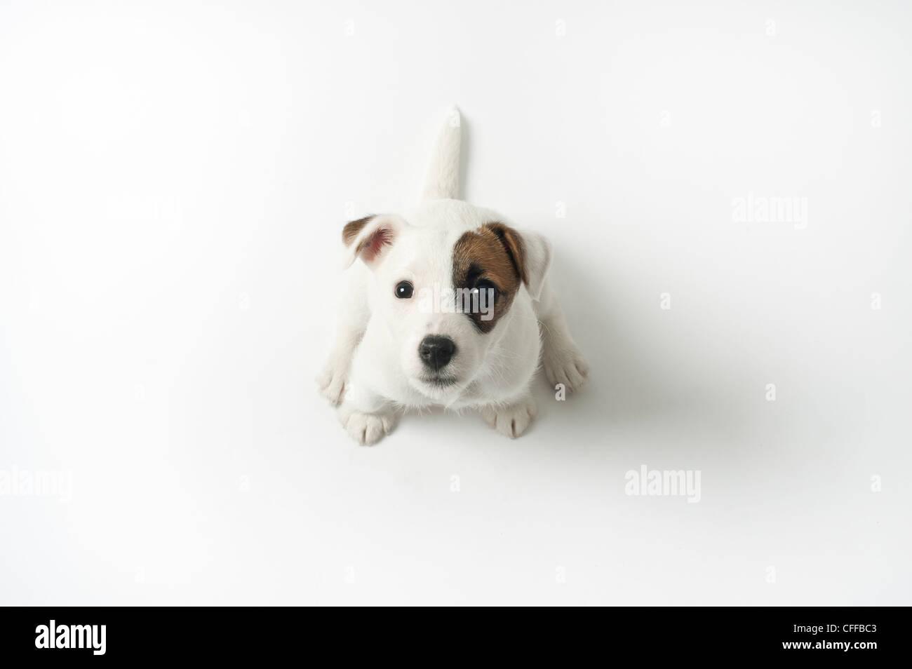 Jack Russell cucciolo guardando verso l'alto. Foto Stock