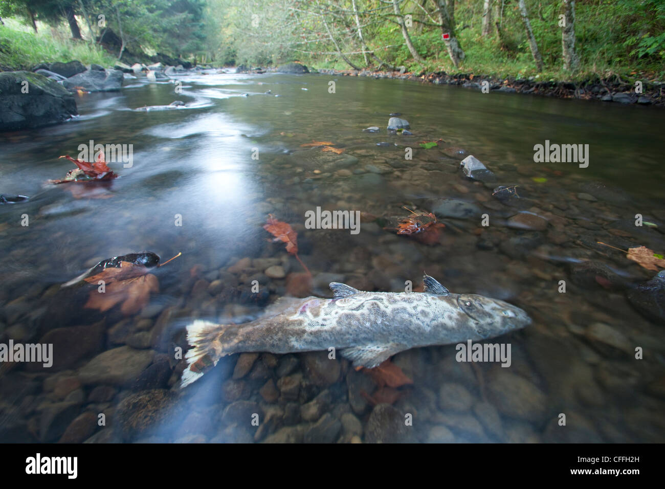 Salmone Coho carcassa in piccolo Oregon costiera di fiume. Immagini Stock