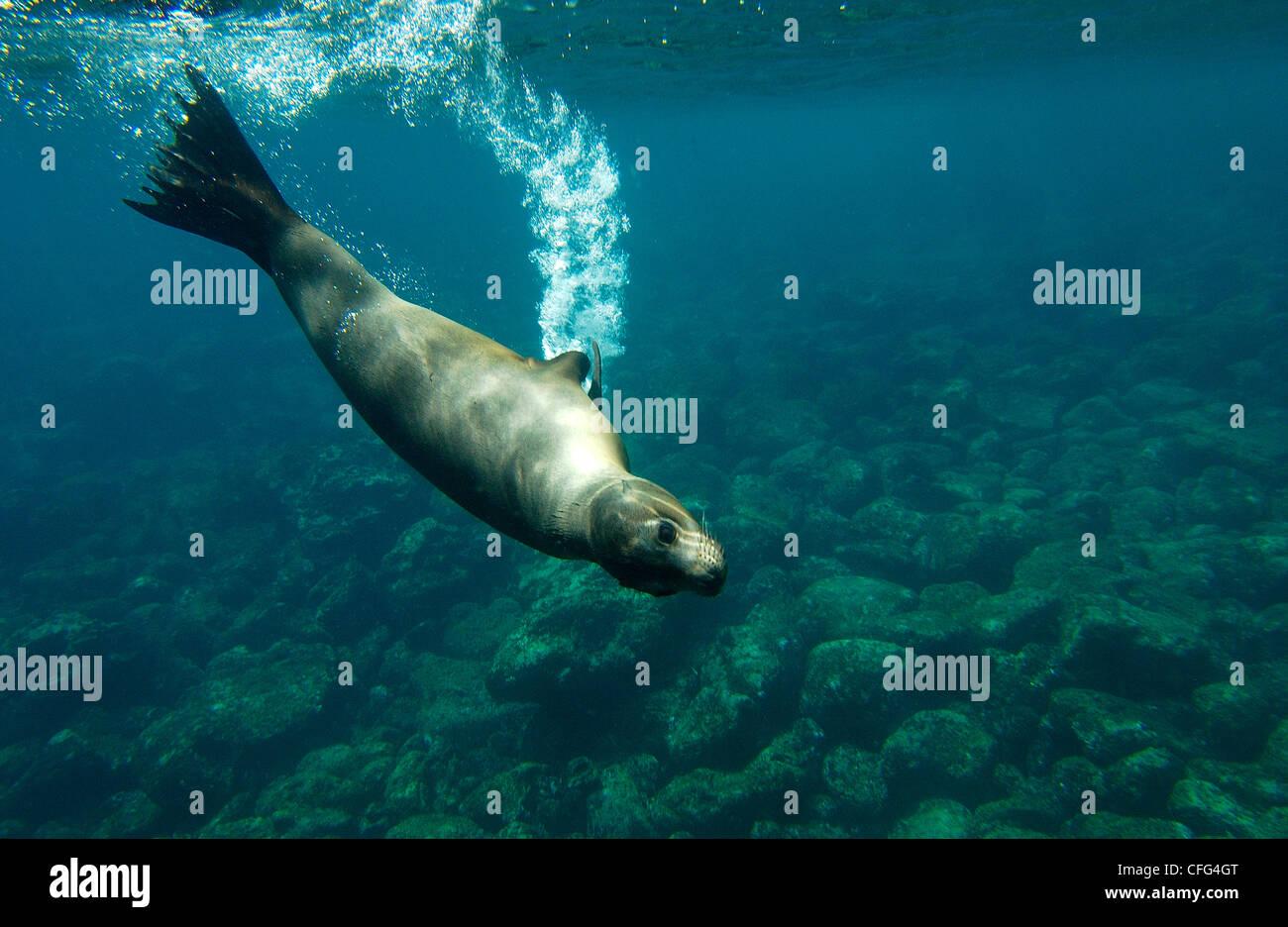 Le Galapagos sealion subacquea, Baia Gardner, Espanola (il cofano) isola, isole Galapagos, Ecuador, Sud America. Immagini Stock