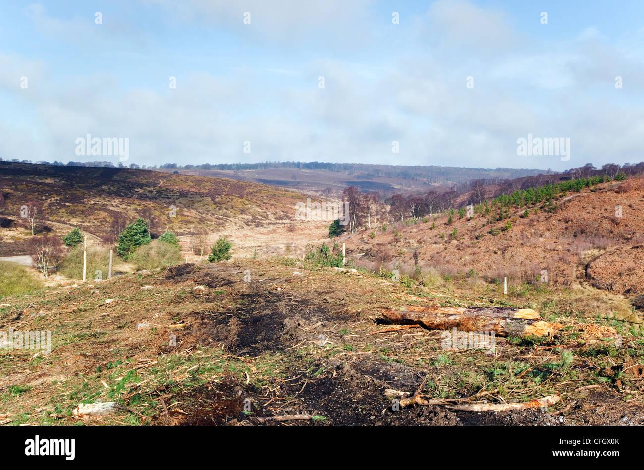 La deforestazione Cannock Chase Country Park AONB (area di straordinaria bellezza naturale) in Inghilterra Staffordshire Immagini Stock