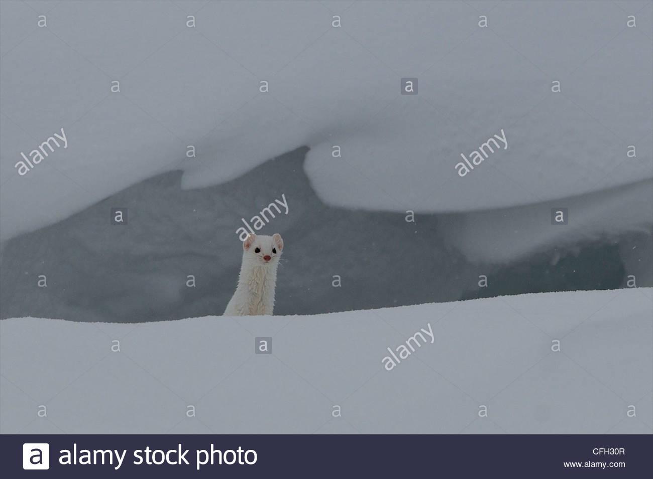 Un ermellino guarda fuori dal suo foro per vedere se eventuali pericoli sono nelle vicinanze. Immagini Stock