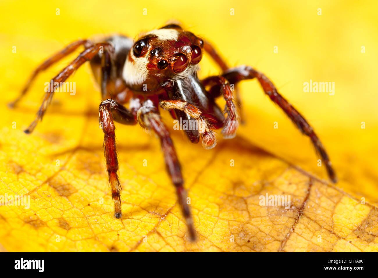 Jumping spider su foglie di giallo. Penisola di Masoala National Park, Madagascar. Immagini Stock