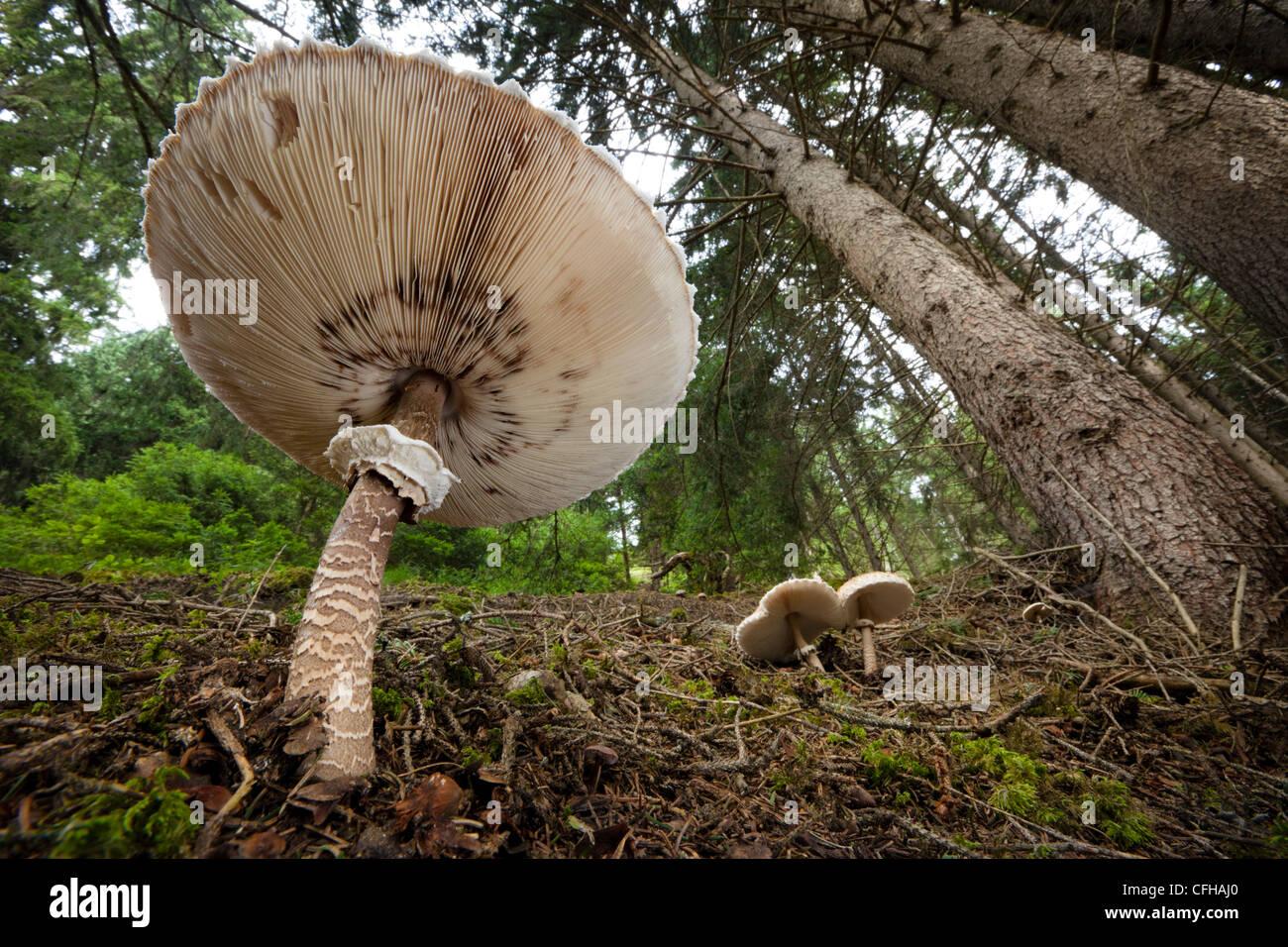 Ombrellone di funghi nei boschi di pino, Tirol, Alpi austriache. Immagini Stock