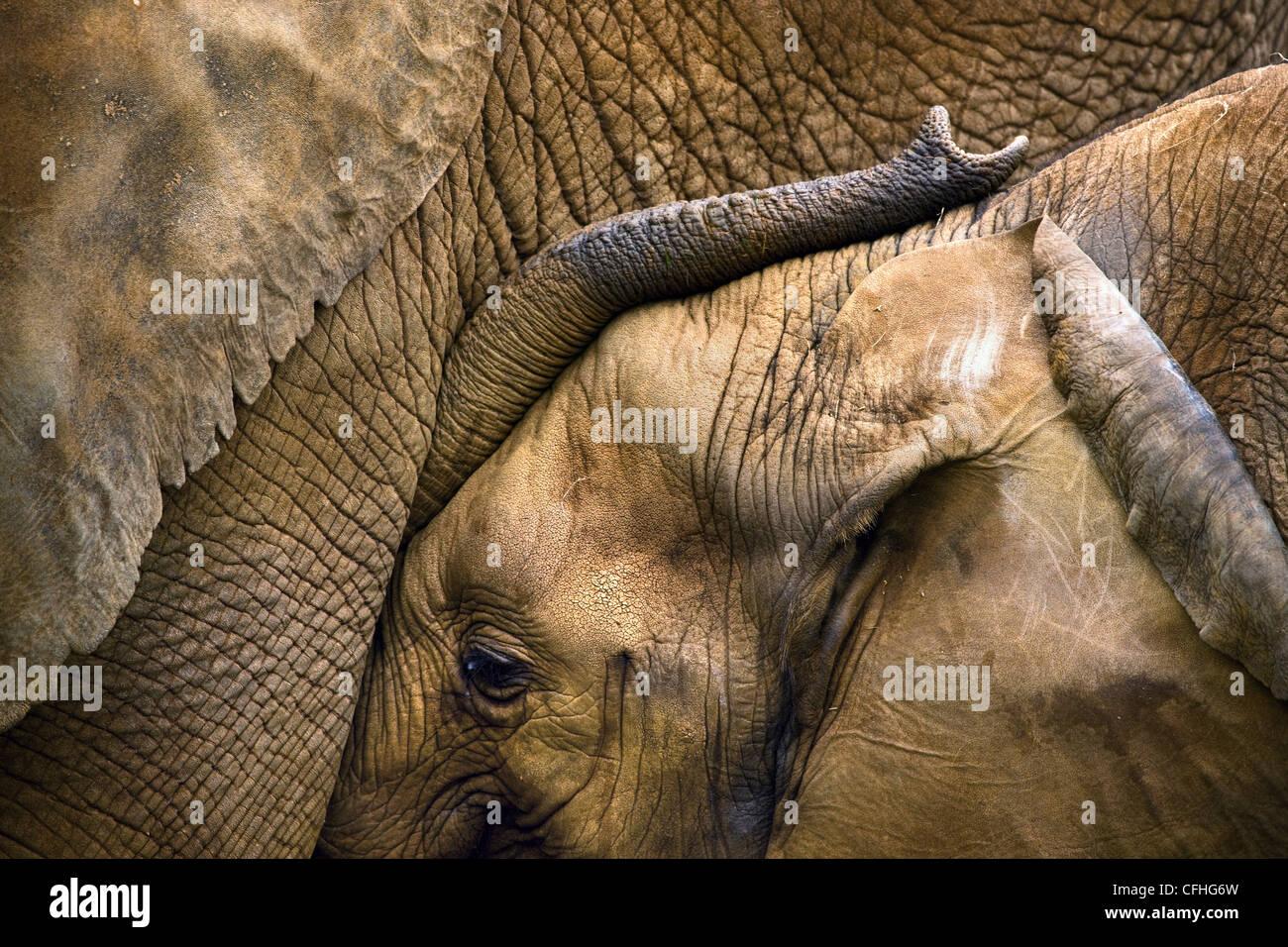 I giovani dell' elefante africano con la madre, Cabarceno, Spagna Immagini Stock