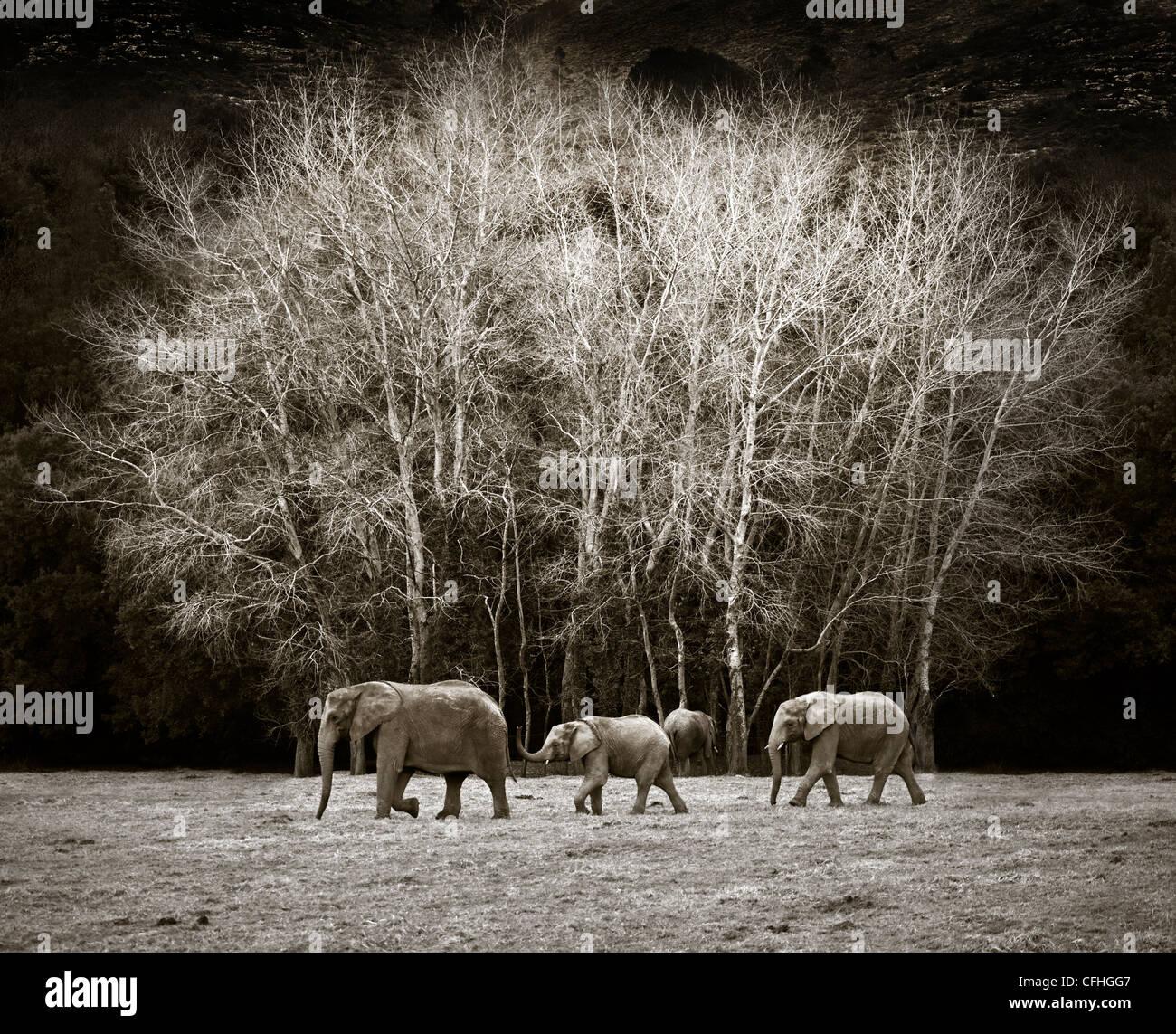 Tre elefanti africani a piedi, Cabarceno, Spagna Immagini Stock