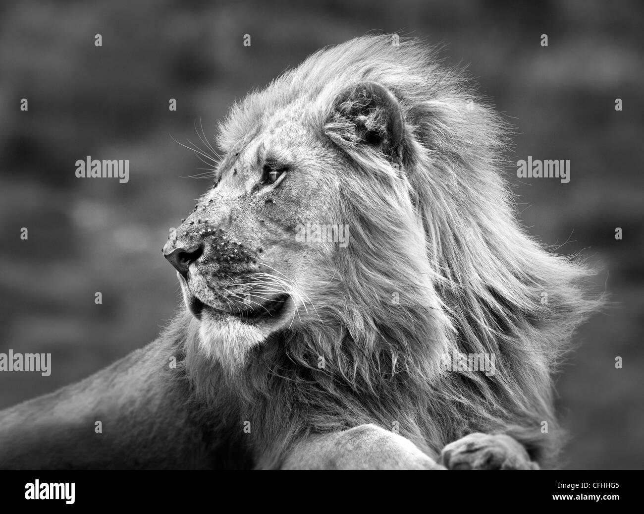 Leone africano ritratto, Sud Africa Immagini Stock