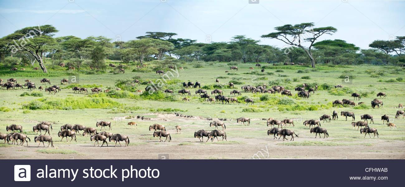 Massing mandrie di lunga barba bianca di gnu sulla migrazione. Ndutu, Serengeti, Tanzania Immagini Stock