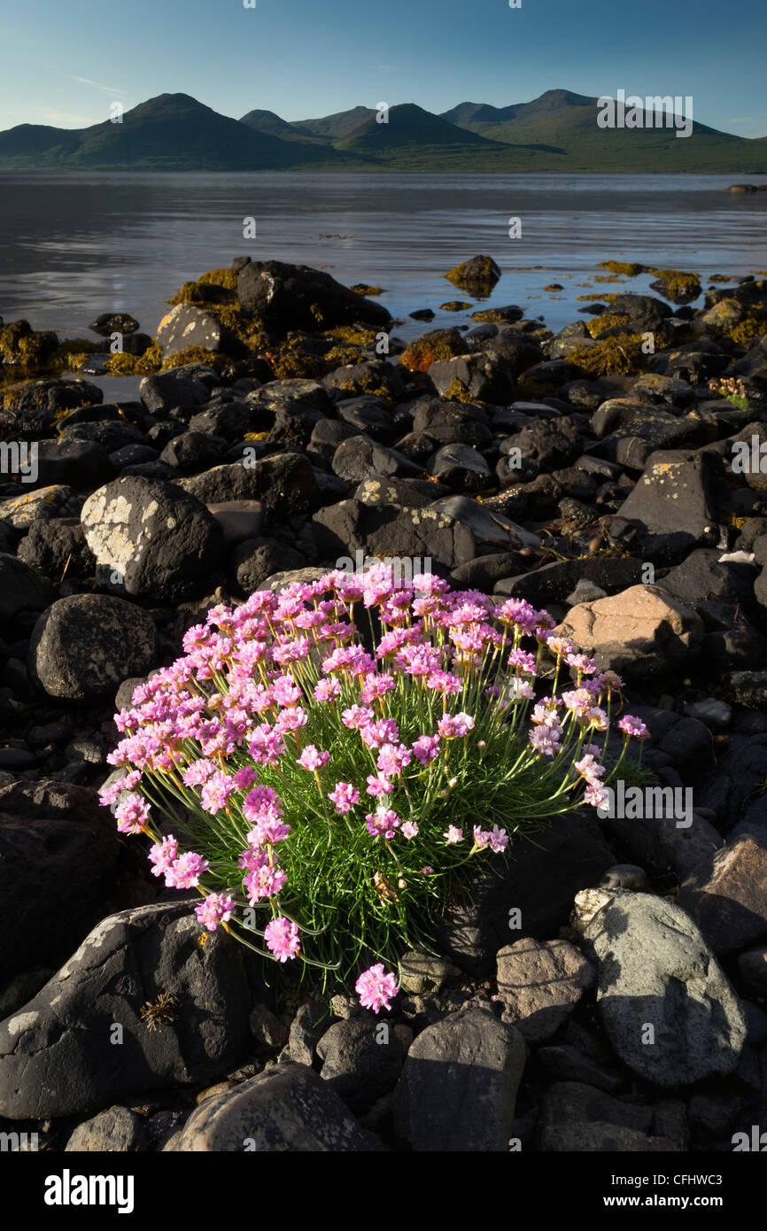 La parsimonia fioritura sul litorale di Loch Na Keal, Isle of Mull, Scozia, Giugno 2011 Immagini Stock