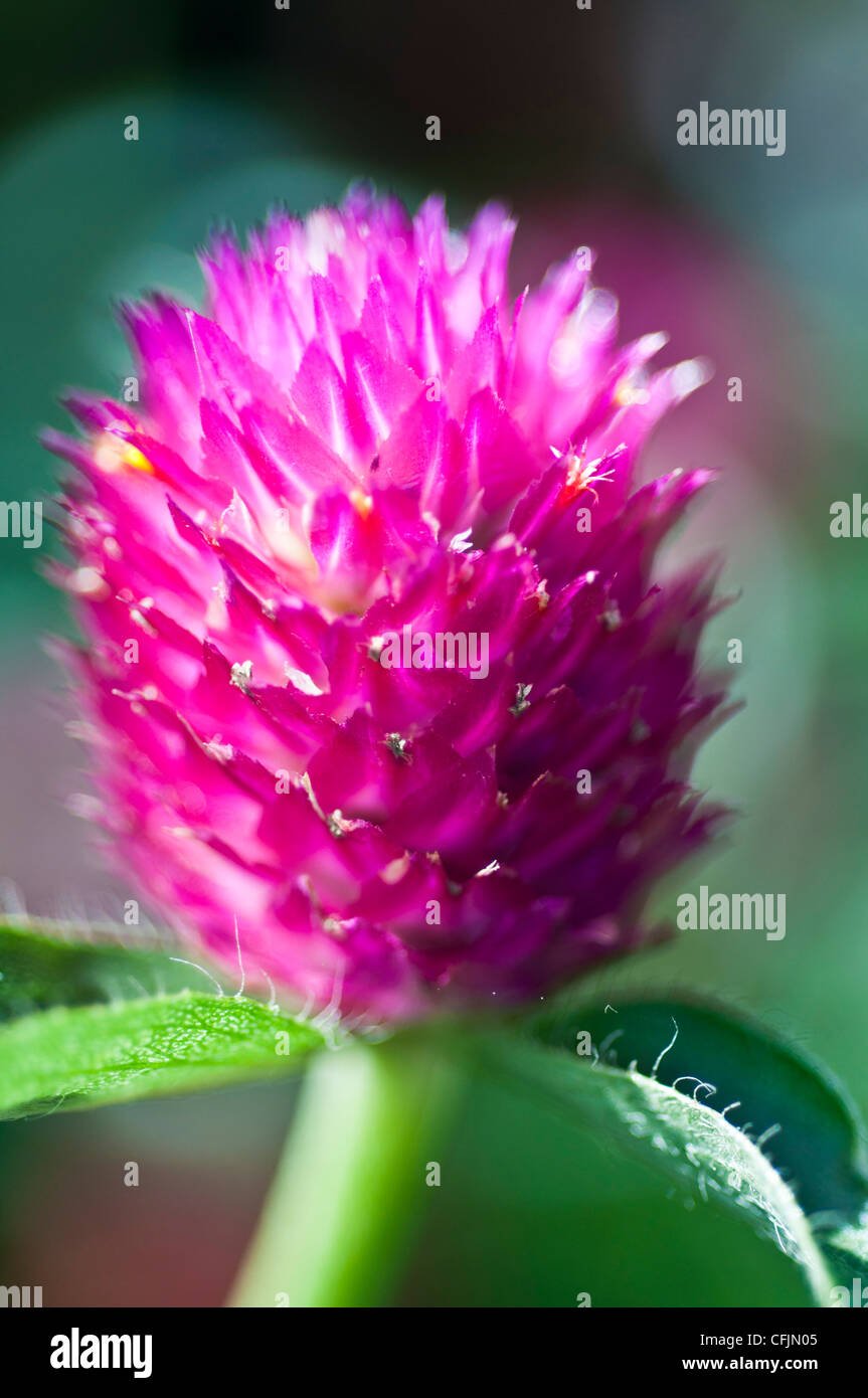 Globo fiore di amaranto close up Amaranthaceae Gomphrena globosa America Tropicale Immagini Stock