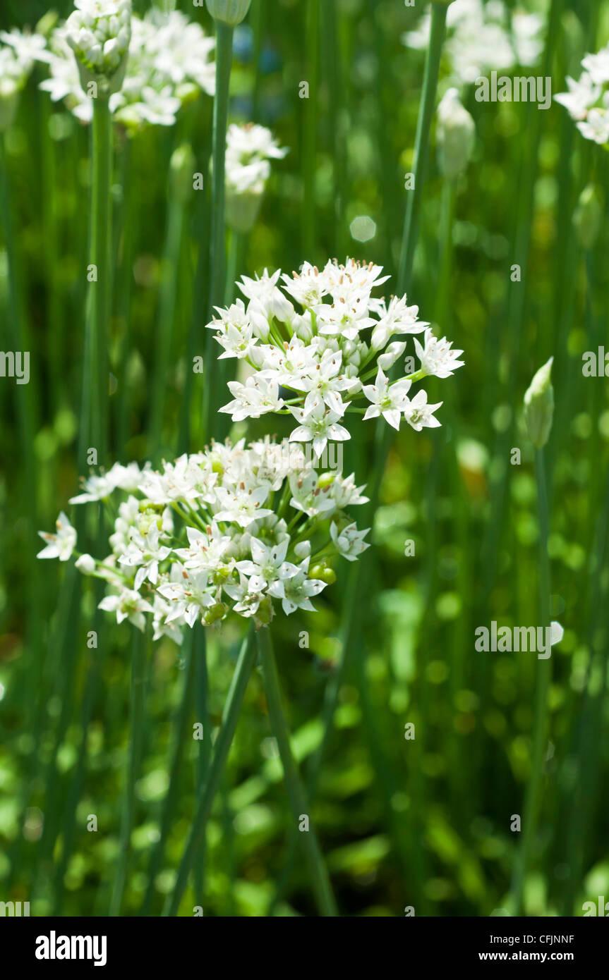 Fiori Erba Cipollina.Fiori Bianchi Di Aglio Erba Cipollina Allium Tuberosum