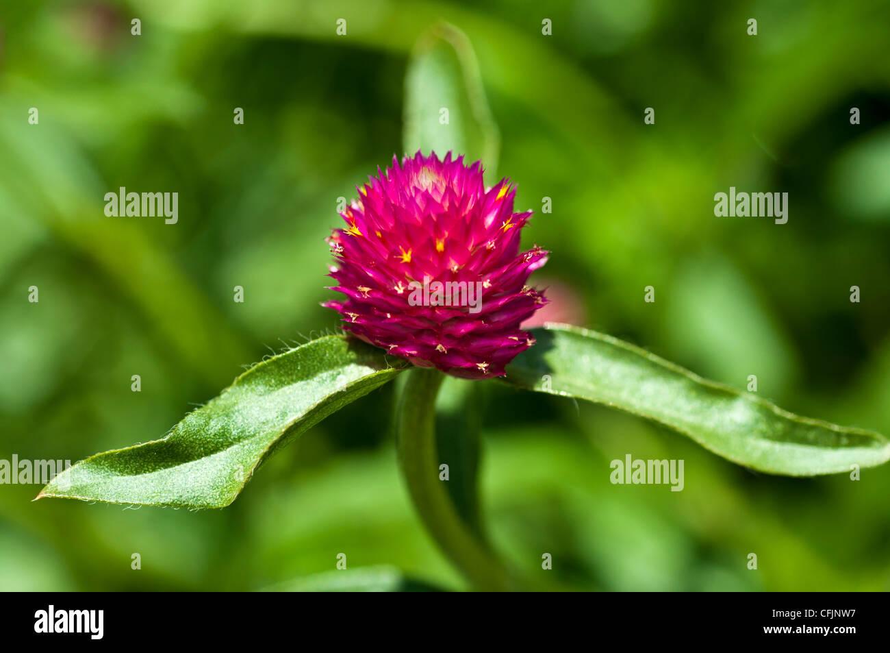 Red Globe fiore di amaranto close up Amaranthaceae Gomphrena globosa America Tropicale Immagini Stock