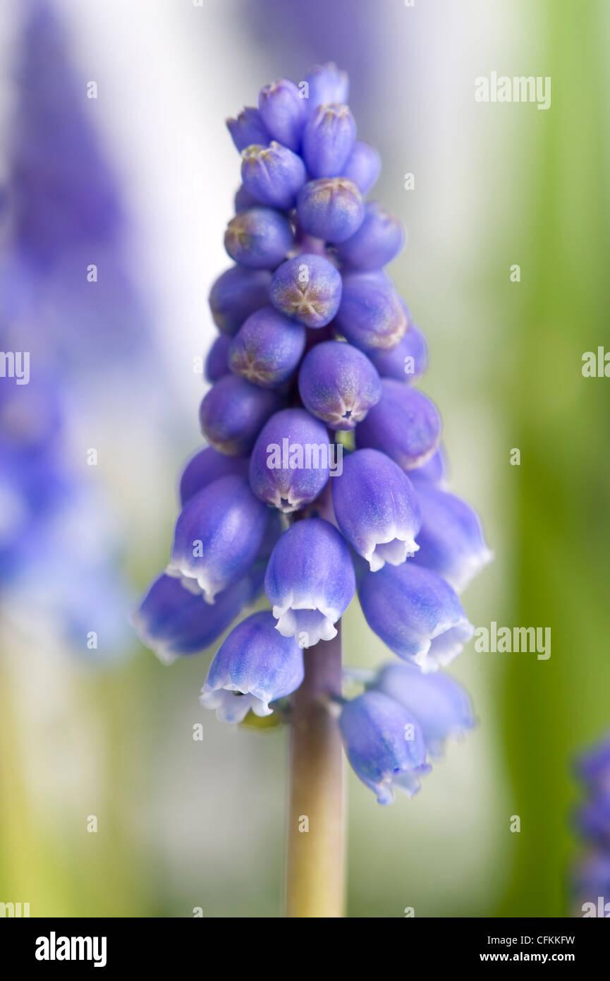 Unico muscari o uva fiore di giacinto Immagini Stock